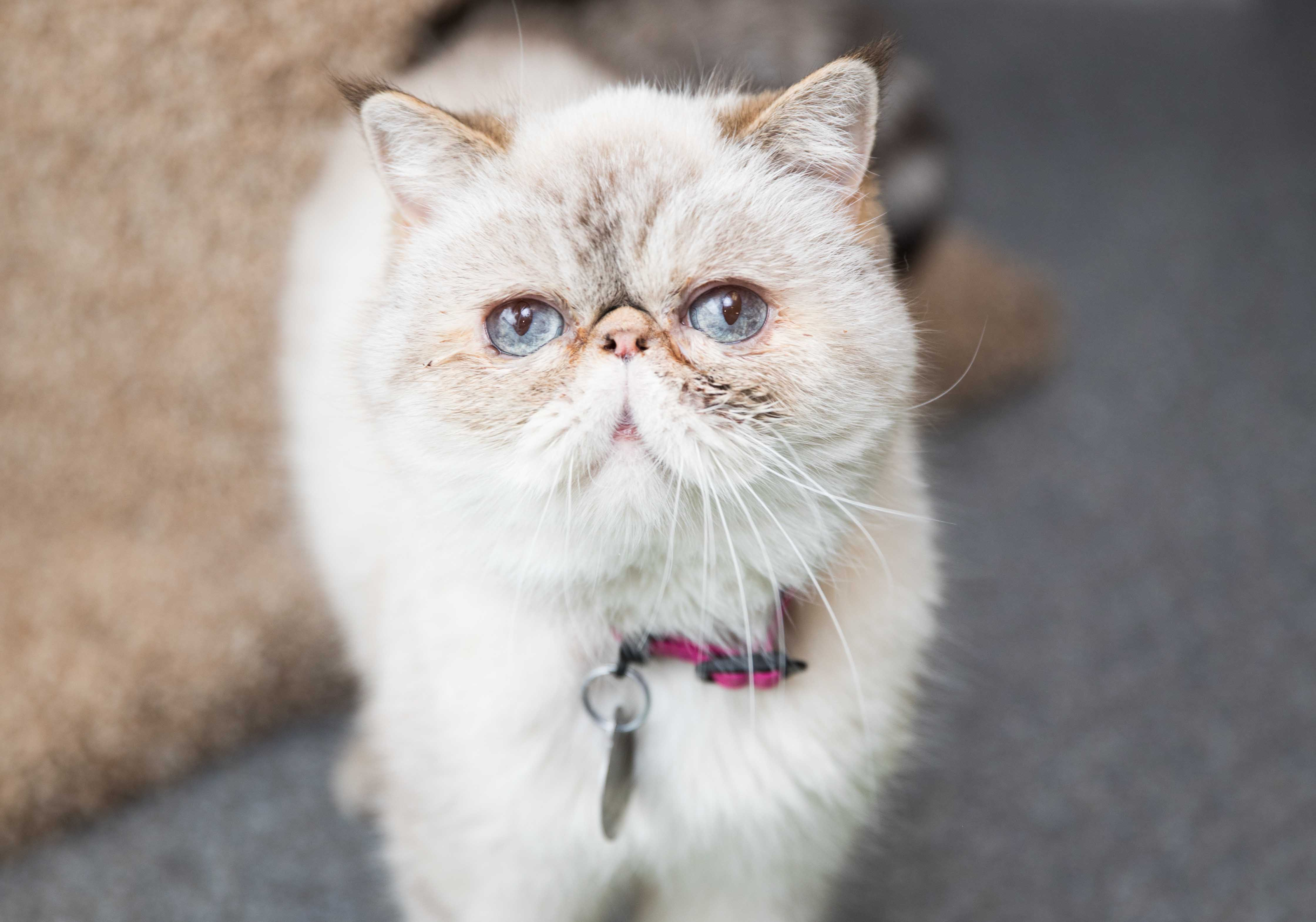 Putting a Persian cat on the road to recovery | Best Friends Animal  Society-Utah