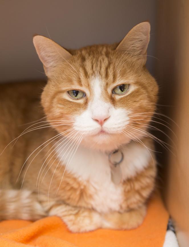 Adoptable orange tabby cat named Pinwheel