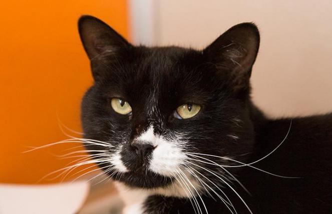 Elvis the tuxedo cat