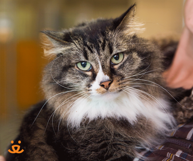 Senior longhair tabby cat named April