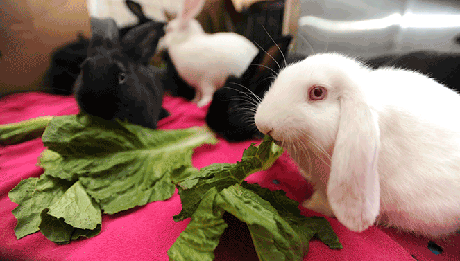 White bunny eating greens