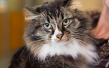 Senior longhair tabby cat named April